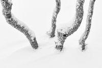 verschneite Birkenstaemme, Dundret Naturreservat, Lappland