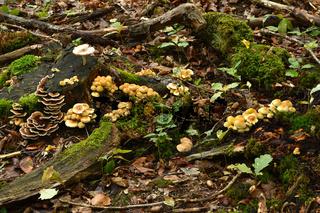 Pilzansammlung auf dem Waldboden und an Baumstumpf