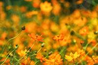 orange cosmos close up