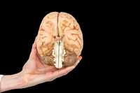 Hand holds model human brain on black background