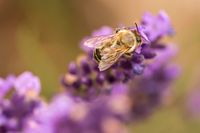 Pollination with bee and lavender during sunshine, sunny lavender