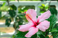 Bright pink Hibiscus flower on the green bush