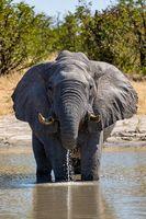 African Elephant in Chobe, Botswana safari wildlife