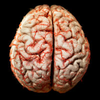 Human brain closeup
