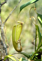 Kannenpflanze (Nepenthes madagascariensis) in situ