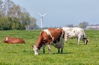 Dutch rural landscape in Groningen with grazing cows