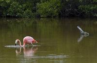 Kuba-Flamingo (Phoenicopterus ruber)