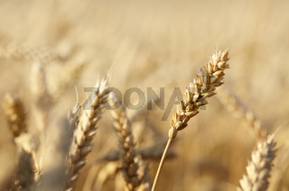 Wheat field closeup photo. Space for text