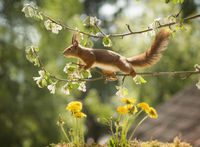 red squirrel standing above dandelion