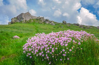 Pink sea thrift flowers in Cornwall