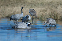 Common cranes (Grus grus) in a lagoon. Gallocanta Lagoon Natural Reserve. Aragon. Spain.