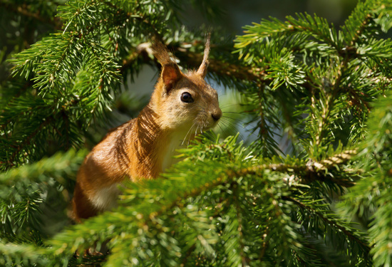 Close up of a Red squirrel in a fir tree