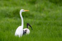 Great white egret, Ethiopia wildlife