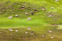 Grazing cows on the Alpe di Siusi