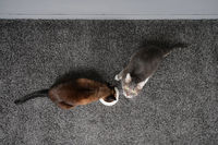 two cats eating from the same feeding bowl
