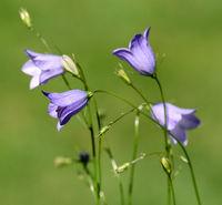 Rundblaettrige; Glockenblume; Campanula; rotundifolia
