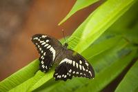 Papilio constantinus_Constantines swallowtail