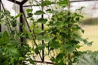 Gemüseanbau im Gewächshaus im Garten Gurkenblüte