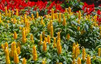 Pachystachys lutea yellow flowers on trees blooming in garden