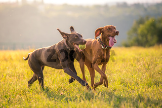 Two young funny cute dogs - Hungarian Short-haired Pointing Dog