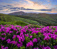 Pink rose rhododendron flowers on early morning summer misty mountain top. Carpathian, Ukraine.
