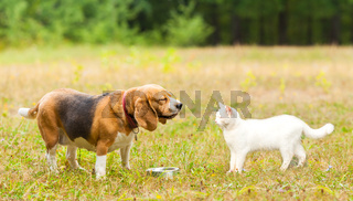 Beagle dog meet a white angora cat