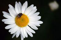 Stolperkäfer auf Gänseblümchen