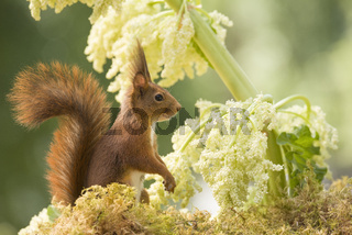 red squirrel is standing with a Rhubarb flower
