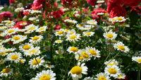 blühende Margeriten in einem Blumenbeet