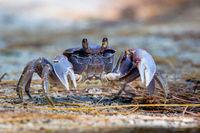 Spider Crab (Neosarmatium meinerti)