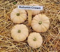 Autumn Crown, Kuerbis, Speisekuerbis