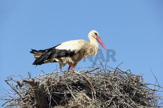 Weißstorch stehend im Nest, Ciconia ciconia