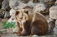 Brown Bear near the Wall