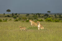 Two lioness and cub, Maasai Mara, Kenya, Africa.
