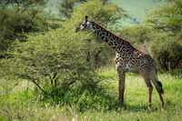 Masai giraffe browses bush in grassy clearing