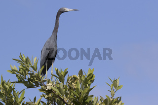 little blue heron that sits on the top of a bush in the mangroves