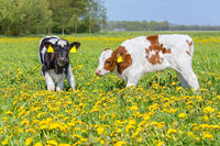 Two calves together in flowering dutch meadow