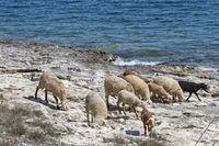 Schafe in Istrien