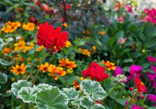 Rote Geranie mit verschiedenen Blumen im Hintergrund