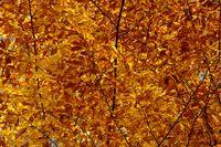 Buchenblätter im Herbst