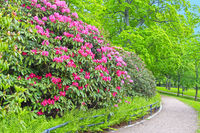 Pink Rhododendron Flowers in Park