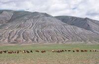 Herd of goats and sheep grazing in pasture in Mongolia