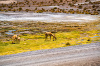 Vicunas grazing on the shore of Canapa Lake at Bolivian Plateau