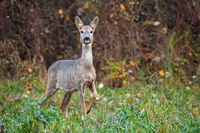 Roe deer doe in autumn moving forward with leg in the air.