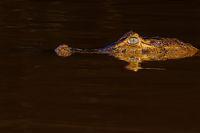 Close up of Yacare Caiman, Caiman Crocodilus Yacare Jacare, swimming in the Cuiaba river, Pantanal, Porto Jofre, Brazil