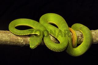 Red tailed pit viper, Trimeresurus erythrurus, Viperidae, Gumti, Tripura , India