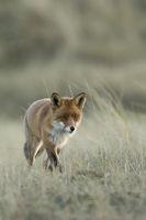 leiser Jäger... Rotfuchs * Vulpes vulpes * auf der Jagd