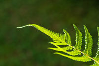 Closeup of fern leaf