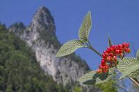 Schneeballfrüchte vor dem Gipfel des Kofels
