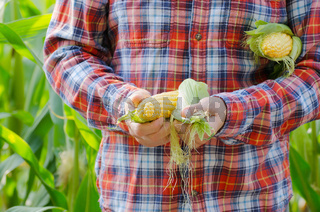 Harvest ready unwrapped corn cobs in farmer's hands